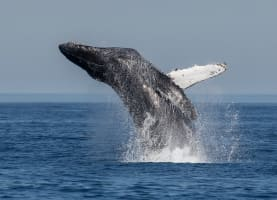 While most Aussies are still coming to terms with the recent arrival of winter, one of the world's most majestic creatures – the southern humpback whale – is meanwhile enjoying the change of season as it begins its northerly migration from Antarctica to the warmer, tropical waters of Australia.