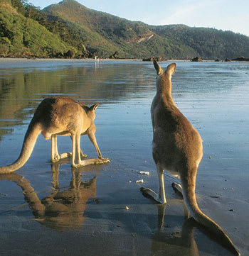 two kangaroos on the beach in Mackay Queensland Australia