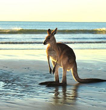 kangaroo on beach at sunset in Mackay Queensland
