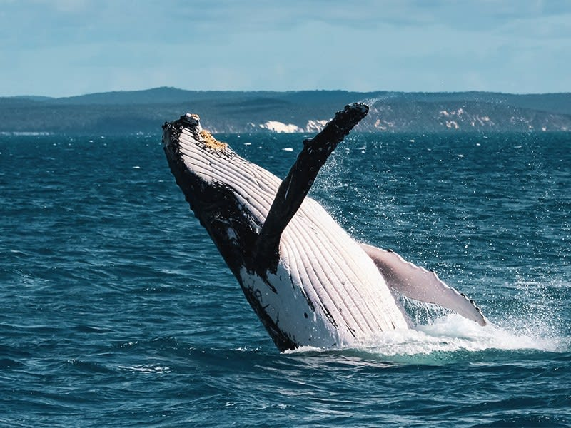 Enjoy whale watching activities when you stay with Oaks Hervey Bay Resort
