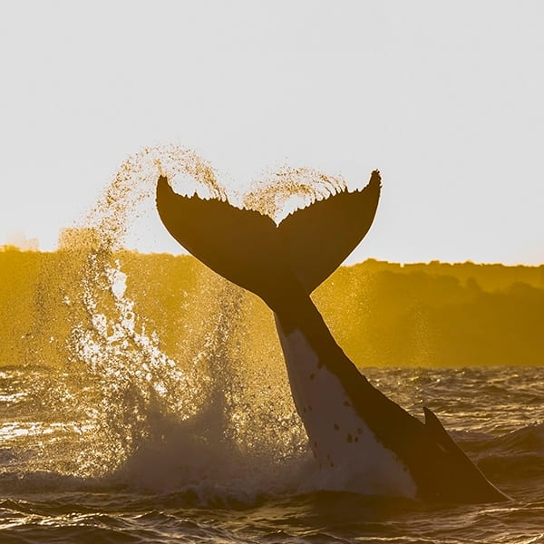 Experience Brisbane Whale Watching Tour with Oaks