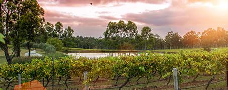vineyard in Hunter Valley at sunset