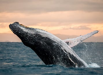 Whale watching season with Oaks Hotels & Resorts